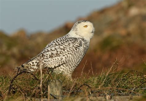 Snowy Owl in Cornwall | Cornwall Bird Watching