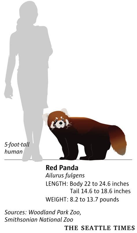 'A rare treat': Woodland Park Zoo unveils twin red panda