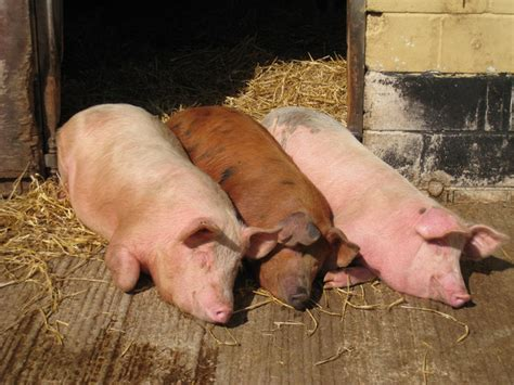 Three Not-So-Little Pigs © Oast House Archive :: Geograph