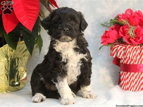 Portuguese Water Dog Puppies for Sale | Greenfield Puppies
