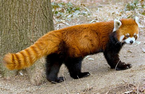 Red Panda - WikiFur, the furry encyclopedia