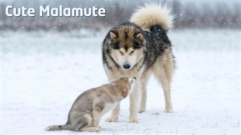 Alaskan Malamute teaching puppy how to behave - YouTube