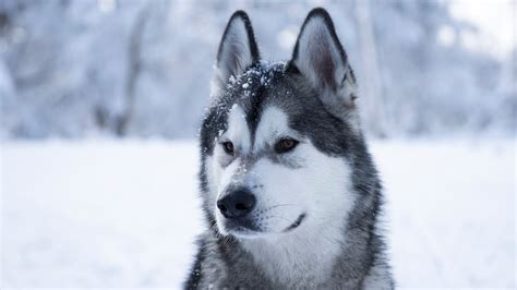 Alaskan Malamute first time in the snow - YouTube